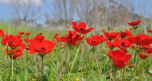 """הכלנית עוד תנצח: כבאי קק""""ל תיעד את הפריחה האדומה ביער בארי בו לחם נגד טרור העפיפונים והבלונים"""
